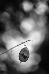 Annual Honesty (Cornelia Pithart) Tags: einjährigessilberblatt judassilberling lunariaannua pflanze samenschrötchen schrötchen annualhonesty honesty plant seedpods