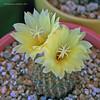 Frailia mamminifera (l.e.violett) Tags: cactus flowers cultivated frailia mamminifera arizona pse