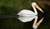 LakeChabot_011417_338 (kwongphotography) Tags: lakechabot castrovalley birds calif americanwhitepelican pelican wildlifephotography nature naturephotography wildlife unitedstates