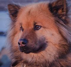 Eurasian dog (2) (frankmh) Tags: animal dog eurasian portrait hittarp helsingborg skåne sweden outdoor sunset
