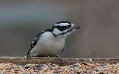 Downy Woodpecker (Picoides pubescens) (marknenadov) Tags: picoidespubescens piciodes woodpeckers birds birding feeders birdfeeders wildlife nature ontarionature downywoodpecker