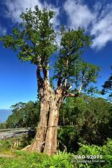 DAO-92075 白嶺巨木,紅檜,檜木,強壯,高大,巨大,巨木,芬多精,森林浴,負離子,舒壓,呼吸,神木,高山,山,樹木,樹林,森林,藍天,白雲,太平山森林遊樂區,太平山國家森林遊樂區,宜蘭太平山,太平山,山岳,宜蘭旅遊景點,宜蘭縣,大同鄉 (盈盈設計影像網 0932046950) Tags: 白嶺巨木 紅檜 檜木 強壯 高大 巨大 巨木 芬多精 森林浴 負離子 舒壓 呼吸 神木 高山 山 樹木 樹林 森林 藍天 白雲 太平山森林遊樂區 太平山國家森林遊樂區 宜蘭太平山 太平山 山岳 宜蘭旅遊景點 宜蘭縣 大同鄉 天空 藍色 晴天 直式 亞洲 台灣 taiwan 台灣圖片 台灣旅遊 台灣影像 台灣圖庫 台灣景點 台灣風景 數位攝影 風景攝影 風景 攝影 圖庫 圖片 圖像 戶外 戶外攝影 觀光景點 旅遊 觀光 休閒 地標