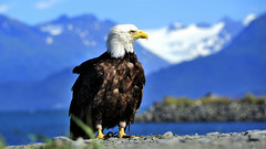 Bald Eagle (flowerikka) Tags: alaska homerspit baldeagle bird vogel kachemak bay beach kenai peninsula wildlife outdoor animal
