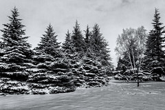 The mighty pines (Anthony P26) Tags: category eskisehir landscape places snow travel turkey yunusemrecampus trees pinetree snowy frozen cold winter wintry canon1585mm canon70d canon blackandwhite bw monochrome whiteandblack travelphotography landscapephotography copse outdoor christmastree