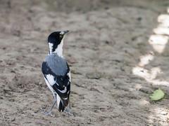 White-tailed shrike/Lanioturdus torquatus