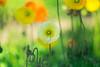 Poppy (Hideo N) Tags: fantasticflower