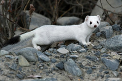 Beautiful Short Tailed Weasel - Ermine (AlaskaFreezeFrame) Tags: ermine winter snow cute canon alaska alaskafreezeframe nature outdoors wildlife stoat mustelidae beautiful portrait closeup fearless 70200mm cold animal mammal outdoor shorttailedweasel weasel mustelaermine ice