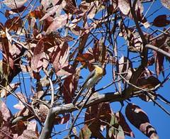Leaden Flycatcher female (RJNumbat) Tags: leaden flycatcher
