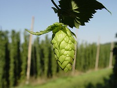 hops herb (csimion77) Tags: hops herb herbaltreatments menopause stress nervehyperexcitability disorders insomnia