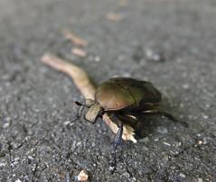(TW2460) Tags: flowerchafer scarab entomology urban takayama honshu japan arthropod beetle