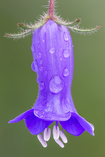 Wild Canterbury Bell (Phacelia minor)