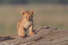 You can play on a log.... (Duncan Blackburn) Tags: 2017 big5 cat kenya masaimara lion mammal nikon nature wildlife ngc npc