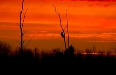 Sunrise w/Great Gray (Brenda HF) Tags: