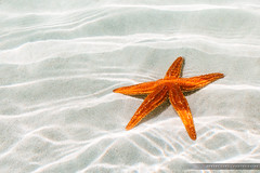 Starfish (Robert Lang Photography) Tags: ocean life travel light sea vacation orange sun holiday fish color colour tourism beach nature water beautiful animal horizontal swimming outside outdoors photography one star see coast seaside amazing sand warm photographer underwater image starfish native outdoor bottom stock warmth australia nopeople minimal adventure experience snorkelling onecolor ripples alive aussie creature minimalistic tranquil ep discover eyre underwaterphotography robertlang portlincoln seafloor onecolour eyrepeninsula bottomofthesea eyrepeninsulasouthaustralia nofaces robertlangportlincoln robertlangphotography wwwrobertlangcomau robertlangaustralia