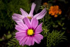 Backgarden Macro 1 - Looking into the Cosmos (stevedewey2000) Tags: flowers macro flora 32 cosmos sigma50mmmacro