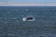 IMG_61795 (walter.innes) Tags: dolphins aberdeenharbour walterinnes