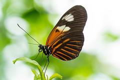Doris Longwing (Laparus doris) (acryptozoo) Tags: butterfly edenpark c lepidoptera arthropoda insecta krohnconservatory nymphalidae dorislongwing heliconiini laparus laparusdoris