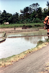 25-813 (ndpa / s. lundeen, archivist) Tags: road people bali woman color film water field animals rural 35mm indonesia landscape cattle farm nick farming farmland ox 25 southpacific fields balance dirtroad local farmer plow ricepaddies 1970s load 1972 plowing oxen balancing indonesian carry ricepaddy carrying flooded balinese dewolf oceania pacificislands banteng nickdewolf photographbynickdewolf onherhead reel25