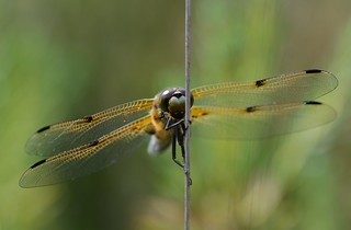 Four-spotted Chaser, Libellula quadrimaculata