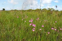 marsh pinks (the feral man) Tags: nature natural florida dryprairie kissimmeeprairie staeparks kissimmeeprairiepreservestatepark