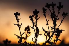 Summer Sunset (Monika Ostermann) Tags: sunset summer deutschland corn europa seasons sommer thistle year pflanzen august distel esch georgsmarienhtte niedersachsen getreide 2013 gmhtte klosteroesede