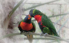 ♡♥Sharing a moment..Two rainbow Lorikeets...♡♥ (Orchids love rainwater) Tags: birds lorikeets bristolzoo hss sliderssunday