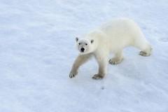 Polar Bear (Christopher.Michel) Tags: polarbear quark polarbears northpole nuclearicebreaker 50letpebody
