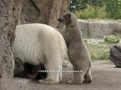 Mama wat is daar (PatrickvBeek) Tags: bear beer animals mammal zoo photo foto outdoor patrick olympus polarbear dieren ijsbeer dierentuin zuidholland e510 southholland zoogdieren zoogdoer patrickvbeek