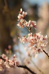 bosque das cerejeiras iii (sandnfoam) Tags: park pink flower tree nature cherry 50mm blossom availablelight sopaulo branches flor naturallight hanami naturephotography cerejeira parquedocarmo sooc branchesagainstthesky canoneosrebelt1i