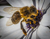 Fluffbee (JKmedia) Tags: bee insect macro boultonphotography canon canoneos7dmarkii flower nature wings transparent oblivious yellow petals fluffy 15challengeswinner