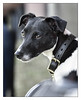 Dog Spectator (GAPHIKER) Tags: jackrussell terrier explore