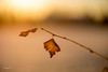 Winter morning 冬日的早晨 (T.ye) Tags: leaf sunrise bokeh warm atmosphere snow closeup winter todd ye outside outdoor