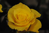 DSC_6169 Rose (PeaTJay) Tags: nikond300s sigma reading lowerearley berkshire gardens indoors nature flora fauna plants flowers rose roses rosebuds