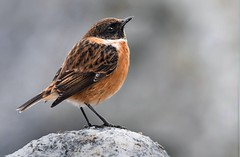 A little stonechat (davy ren2) Tags: