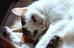 Minoti.... (Clamos) Tags: charlie gatti cats love animali animals