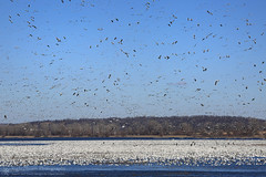 Higher and Higher (right2roam) Tags: snowgeese squawcreek wildlife refuge missouri flock goose right2roam elijahhassler