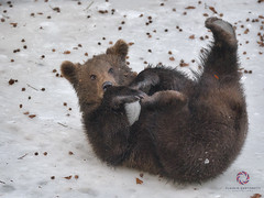 Acrobatic Ice (Claudio Cantonetti) Tags: bayerischer bayerischerwald bayerischerwaldnationalpark d750 nikon animal claudiocantonetti claudiocantonetticom forest germany travel wildlife bear pup nature mammal ice winter play acrobatic brown