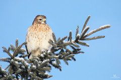 Buse à épaulettes -  red-shouldered hawk - Buteo lineatus (Maxime Legare-Vezina) Tags: bird oiseau nature wild wildlife animal fauna ornithology biodiversity canon winter hiver