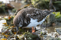 Turnstone (Shane Jones) Tags: turnstone bird wader seabird wildlife nature nikon d500 200400vr tc14eii