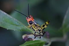 Saltamontes (Diego Serra) Tags: grasshopper saltamontes tucura macro close up leaf nature bug