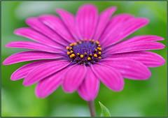 This is Purple (tdlucas5000) Tags: daisy african macro closeup bokeh creamybokeh sigma105 purple purpledaisy yellow pollen california flower flowers