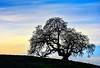 The Old Oak (jacklouis17) Tags: oak tree statuesque branches paloalto stanfordhills silhouette dusk sky nature naturesart serene calming spiritual outdoors california