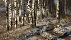 the meeting of seasons (Sergey S Ponomarev - very busy) Tags: sergeyponomarev canon eos ef24105f40l nature 70d paysage paesaggio russia russland russie kirov viatka vyatka wjatka autumn autunno october morning dawn sunrise woods valley forest walk stroll birch path perspective сергейпономарев природа пейзаж киров россия вятка деревья осень снег березы прогулка утро рассвет
