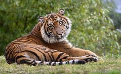 Suka, Melting Hearts with His Tiger Charm (Penny Hyde) Tags: babyanimal bigcat safaripark sumatrantiger