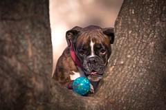 the blue ball (Tamás Szarka) Tags: dog pet animal puppy outdoor nature forest trees nikon boxerdog boxer winter ball