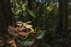 in the spotlight (Jenny Theobald (nature)) Tags: ahaetullanasuta greenvinesnake nasenpeitschennatter srilanka snake vinesnake treesnake rainforest wildlife nature outdoor reptile green camouflage