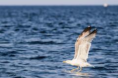 Le décollage. (Bouhsina Photography) Tags: oiseau mouette mer eau decollage vol bouhsina bouhsinaphotography canon 7dii ef70200 tétouan tetuan maroc morocco marinasmir été 2016 bokeh profondeur champs