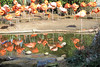 Flamingos (babyfella2007) Tags: jason taylor victorian oak ladys desk eastlake ebonized black ebony corner chair roll top yellow submarine beatles barkcloth vintage rug carpet parrot michelle grant carson riverbanks zoo antique flamingo ice cream child boy young lego nature explore outside sc south carolina reflection water winnsboro fairfield county old design style