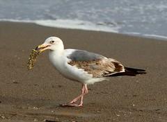 California gull (I Nair) Tags: californiagull laruscalifornicus statebirdofutah seagull bird