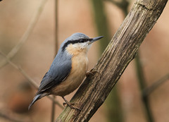 Nuthatch (Sitta europaea) (Eastern Davy) Tags: nuthatch sittaeuropaea bird wildlife wild outdoor lochwinnoch canon 70d 300mm scotland